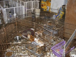 puppy-farm-in-Ireland-with-breeding-bitches-e1456496500502